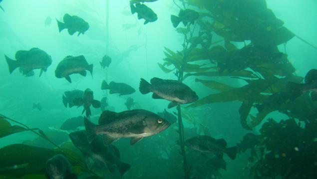 Black rockfish in kelp