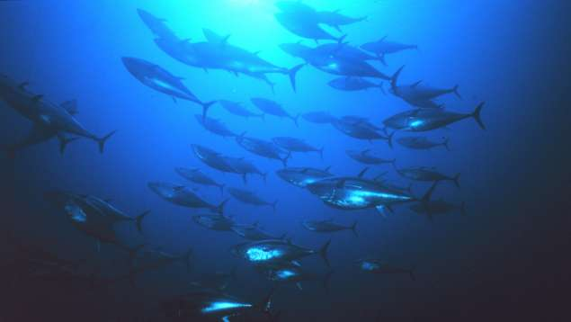 Bluefin tuna. Photo: NOAA/Marine Photobank
