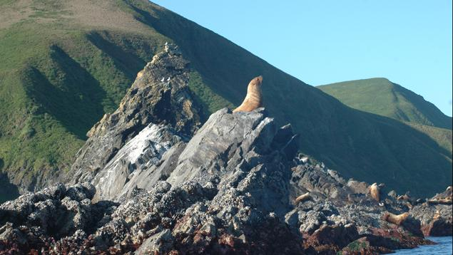 Sea lions on Triangle Island