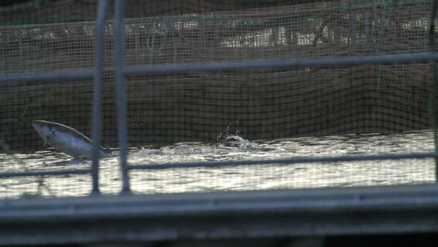Salmon jumps in net-cage farm
