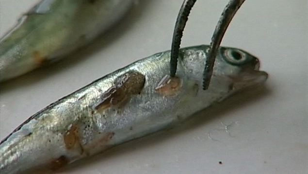 Sea lice on smolt in lab.