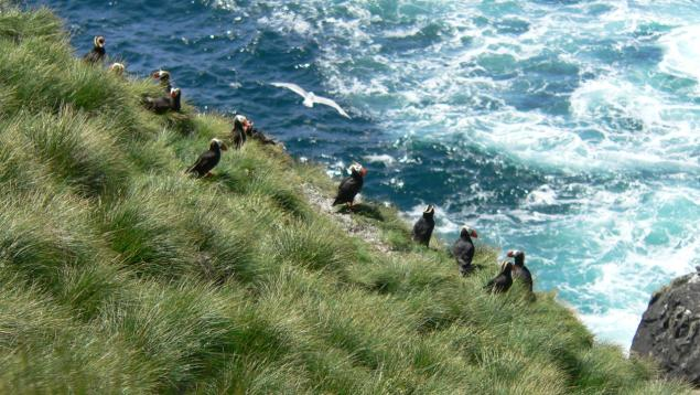 Puffins on Triangle Island