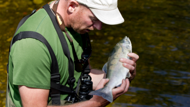 A wildlife biologist examines a diseased pink salmon