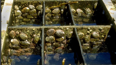 Abalone in tanks