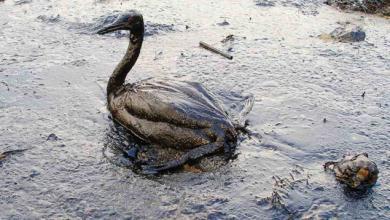 oiled seabird on beach