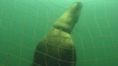 Drowned sea lion in salmon farm predator net