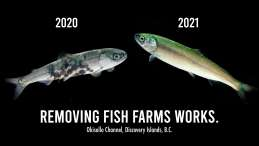 Outmigrating wild salmon bear no lice in 2021, after closure of salmon farms