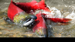 Wild sockeye salmon spawning in British Columbia.